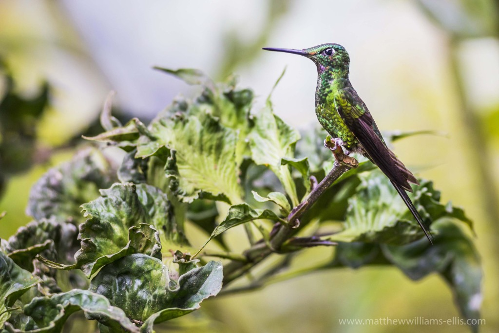 Hummingbird at Mashpi Lodge, Choco Cloud Forest, Ecuador, South America