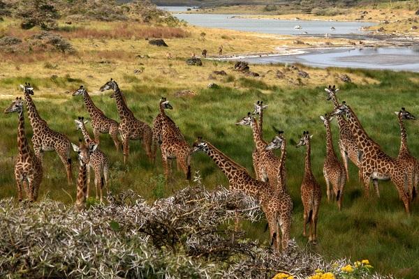 Giraffes_Arusha_Tanzania lr