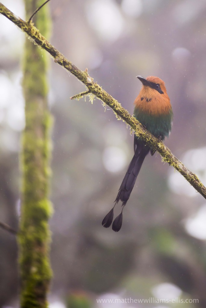 Bird in the Choco Rainforest, Ecuador. This area of jungle is the Mashpi Cloud Forest in the Pichincha Province of Ecuador, South America