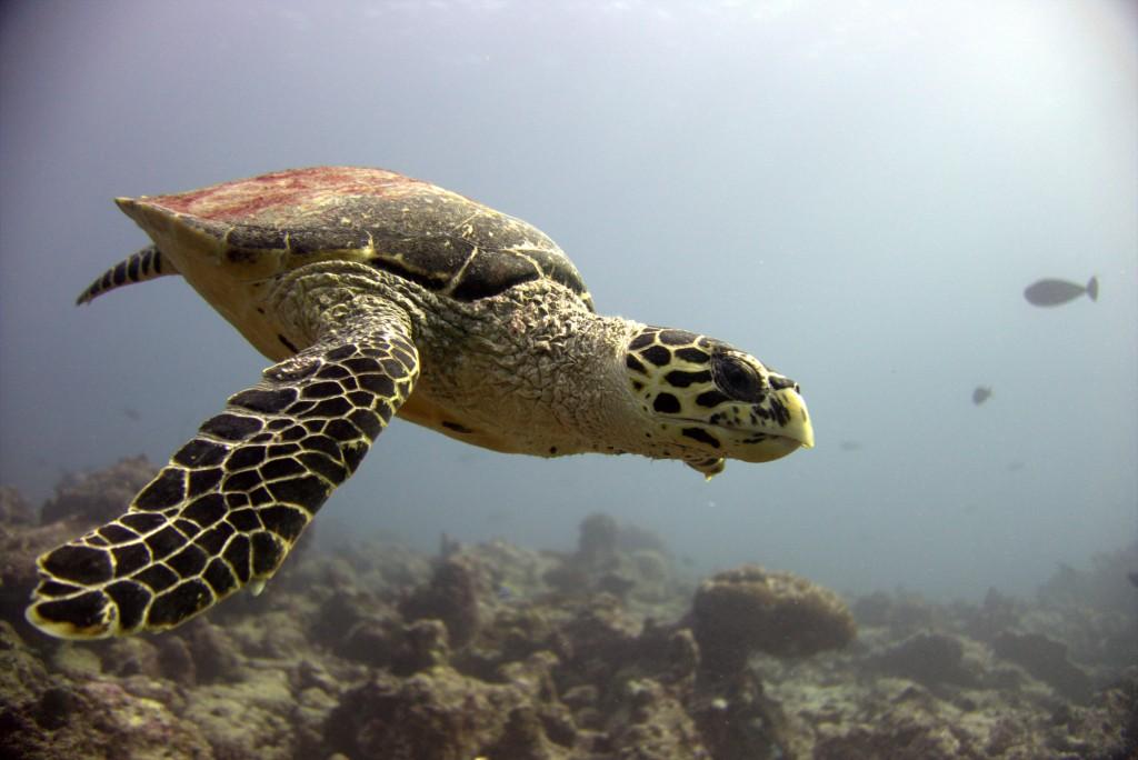 GLM_Sea Turtle