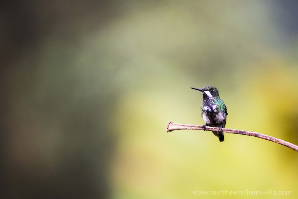 Hummingbird at Mashpi Lodge, Choco Cloud Forest, Ecuador, South America
